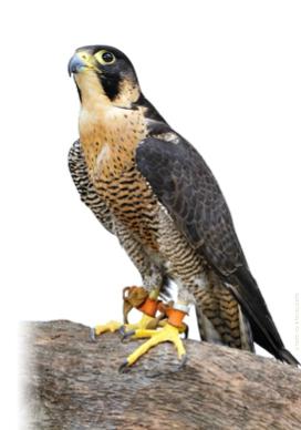 Bird-Control-Peregrine